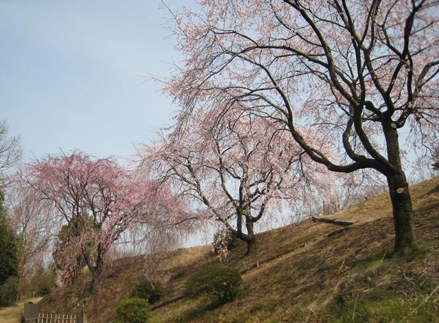 香川県園芸総合センターのしだれ桜