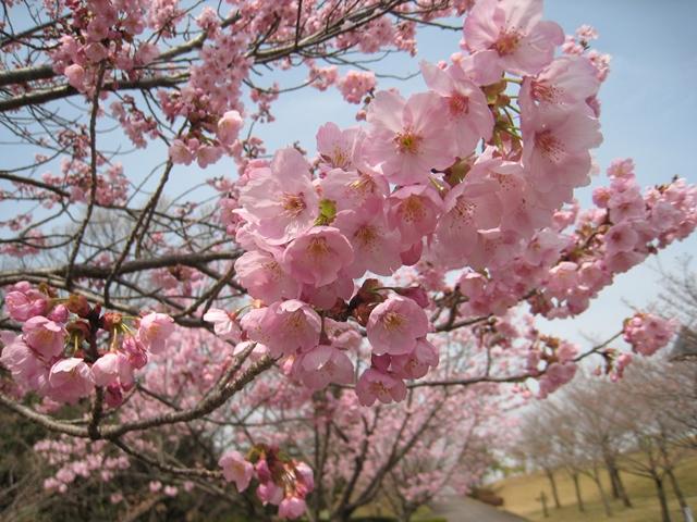 さぬき空港公園の陽光桜
