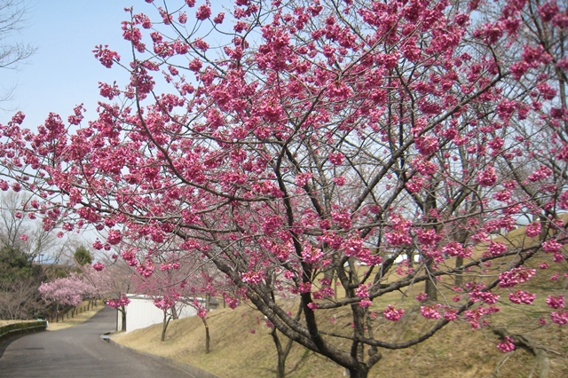 さぬき空港公園の寒緋桜