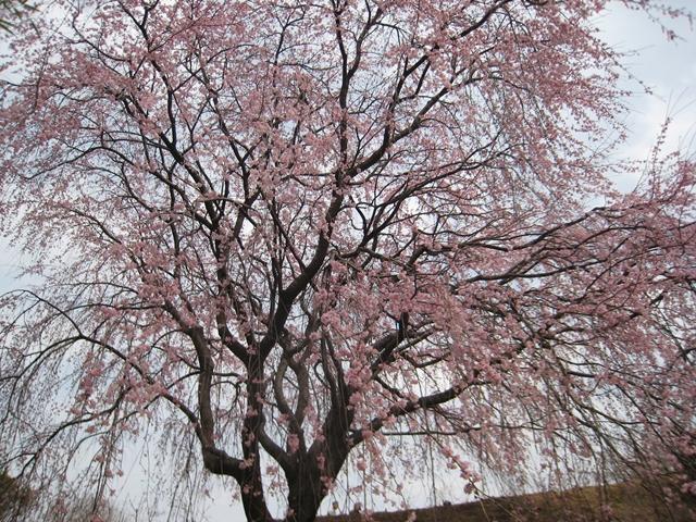 園芸総合センターのしだれ桜