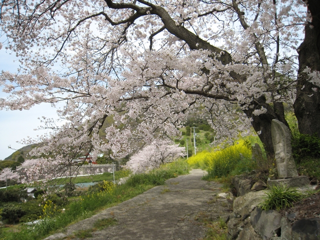 大屋富町松ヶ浦池堤の桜