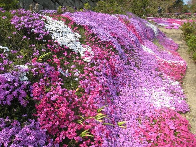 広棚花の里の芝桜