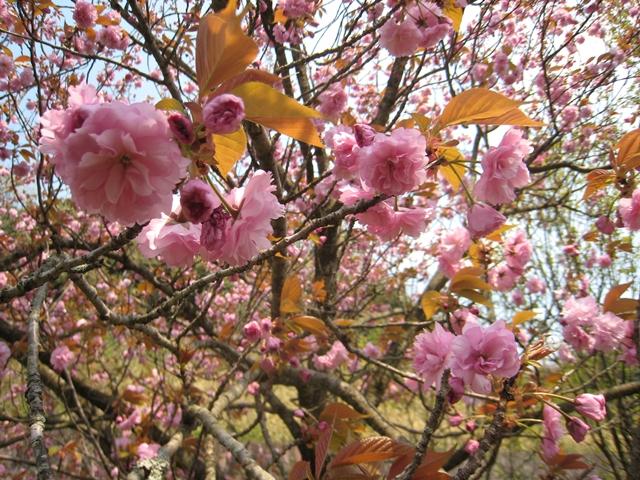 ほたる見公園の桜