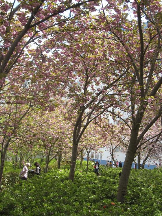 セシールの桜