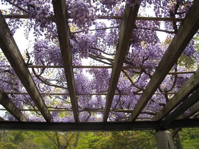香川用水記念公園の藤