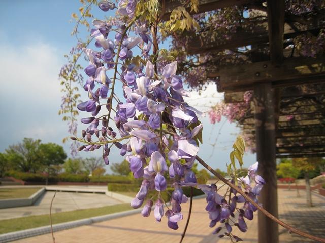 香川県総合運動公園の藤