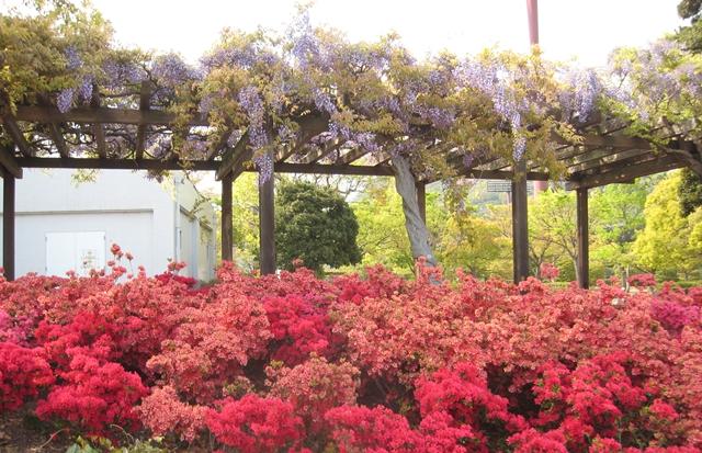 香川県総合運動公園の藤とツツジ