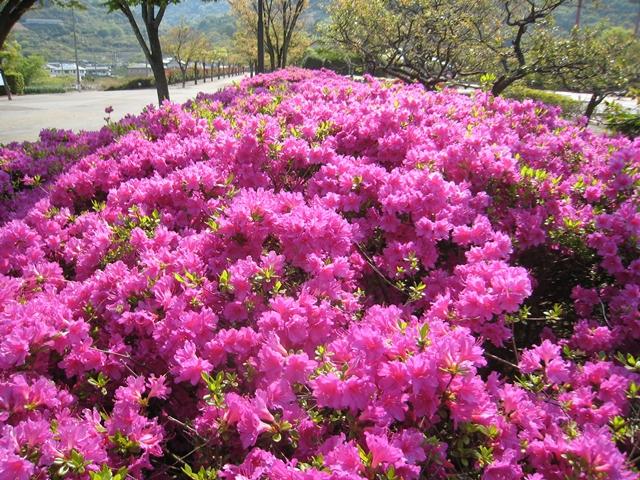 香川県総合運動公園のツツジ