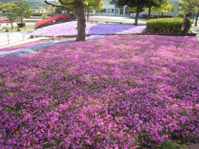 香川県総合運動公園の芝桜