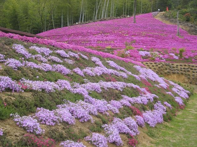 東かがわ市帰来の芝桜富士