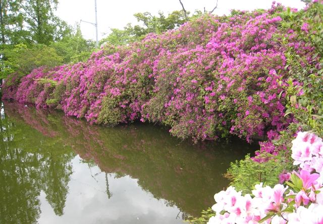 仏生山公園のツツジ