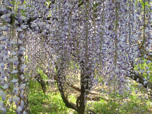 岩田神社の藤