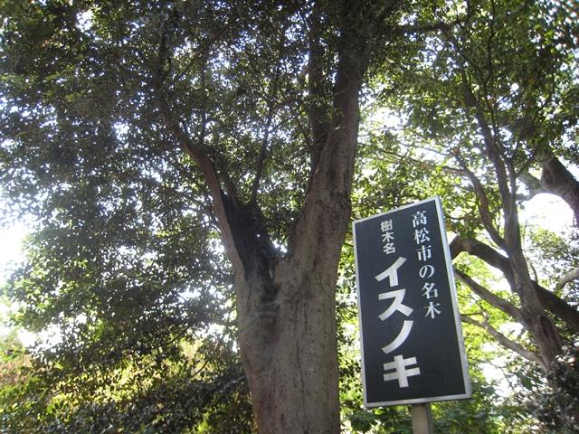 岩田神社のイスノキ