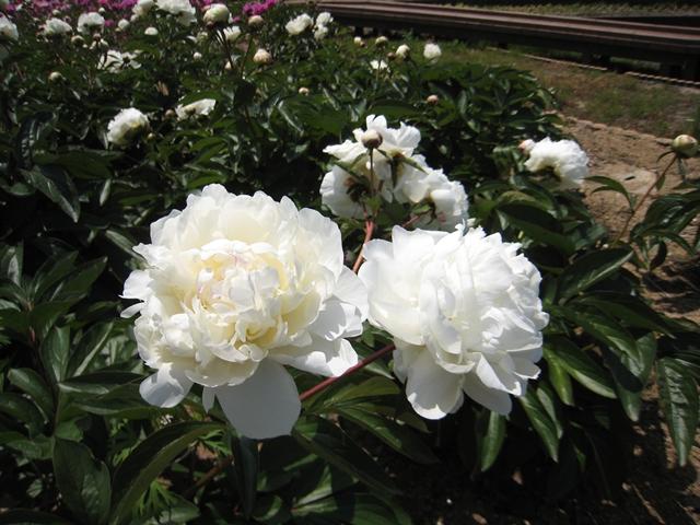 仏生山公園の芍薬