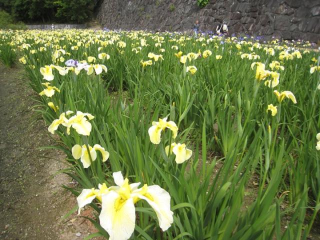 亀鶴公園花しょうぶの里