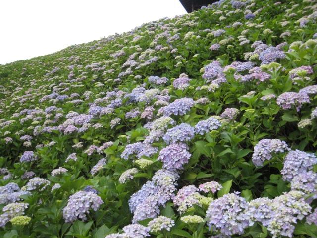 国営讃岐まんのう公園の紫陽花