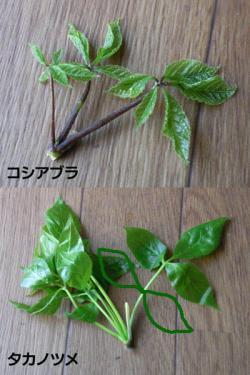 sansai-koshi-taka-hikaku2.jpg