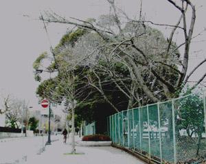 水戸城跡の大シイ
