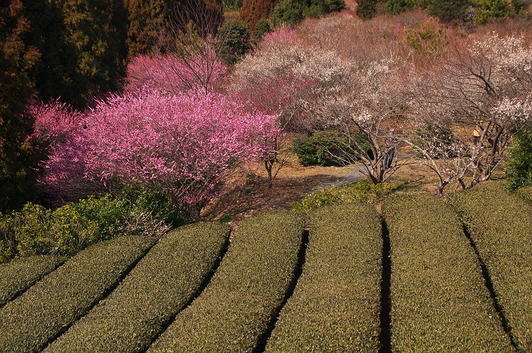 梅咲く季節 6