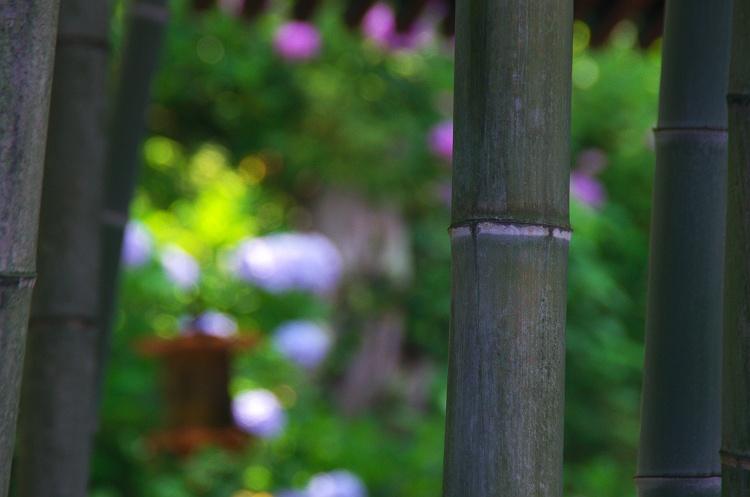 紫陽花のうた 5