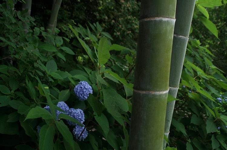 紫陽花のうた 8