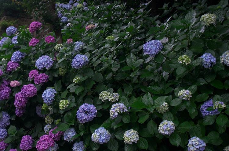 紫陽花のうた 9