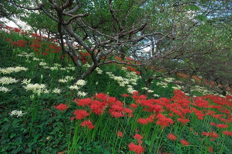 彼岸花が咲く風景 6