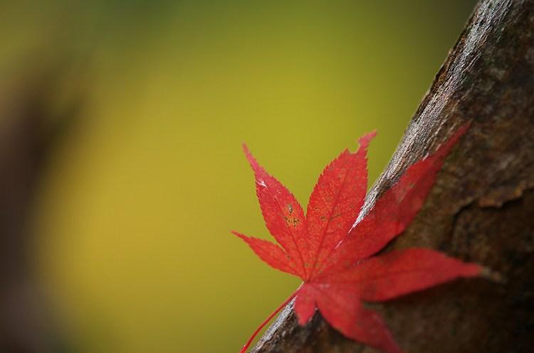 ちいさい秋みつけた ~小国神社の紅葉 6~