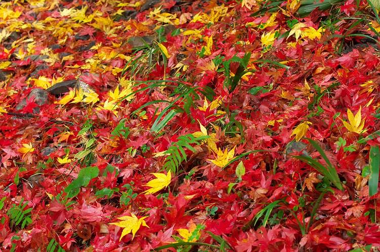 過ぎゆく秋を散りばめて ~小国神社の紅葉 7~