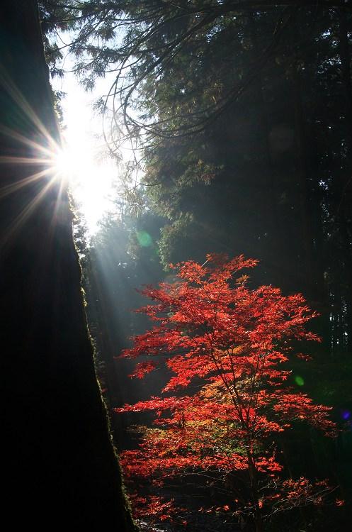 光の森 ~小国神社の紅葉 13~