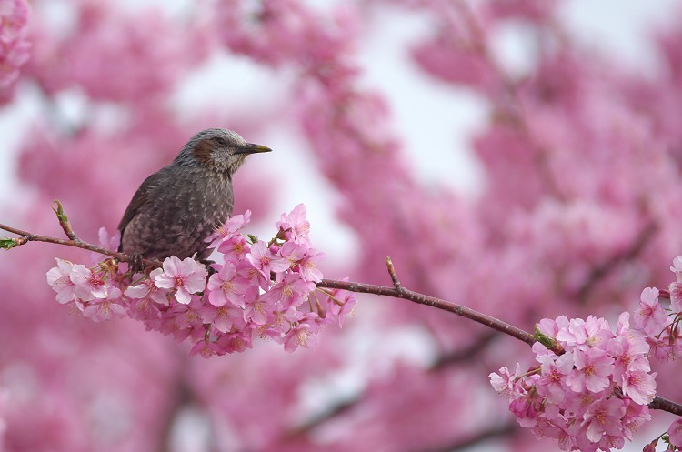 朝比奈川の河津桜 一