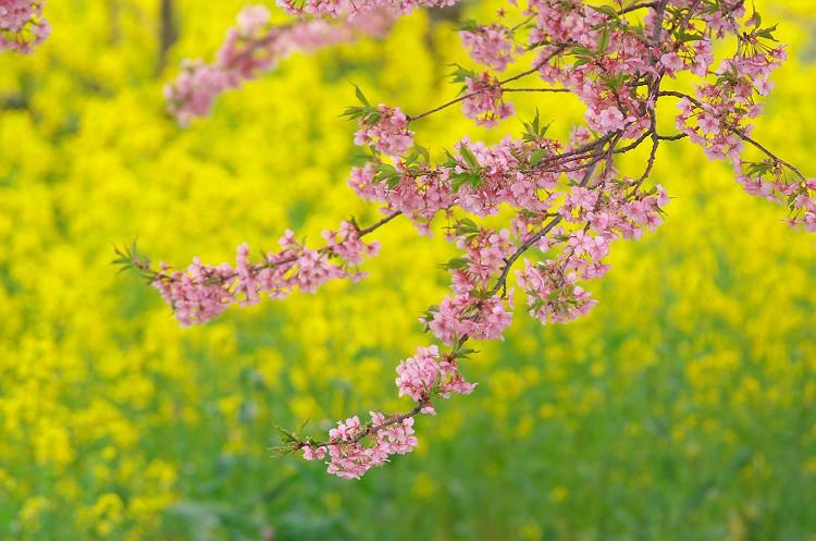 朝比奈川の河津桜 三