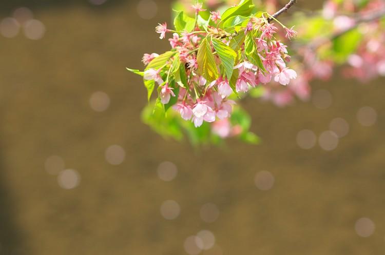 桜そして若葉