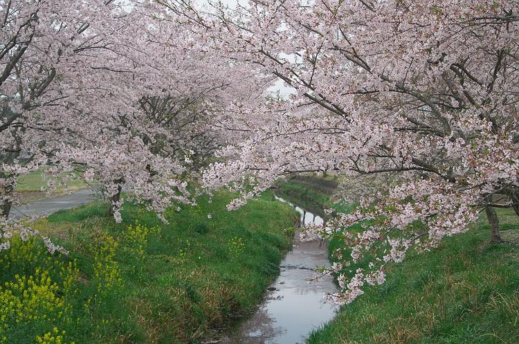 さくら咲く散歩道 3