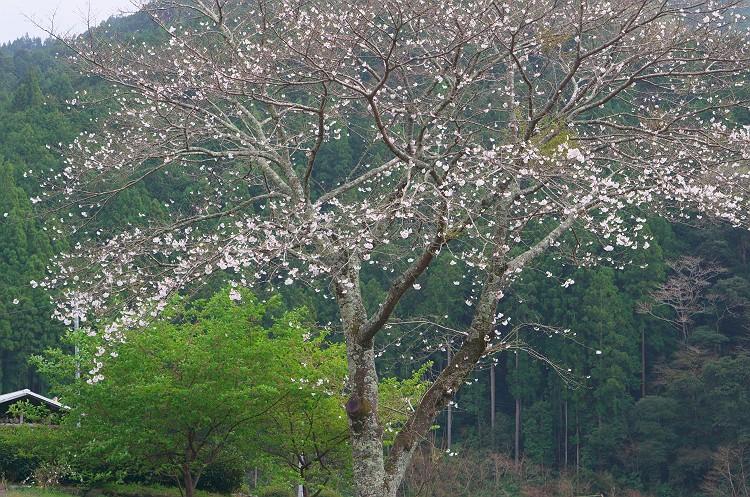 森町の一本桜