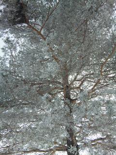 樹氷っぽい感じ