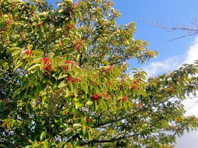 右の枝は桜です