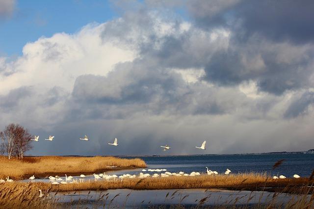オオワシと白鳥 020