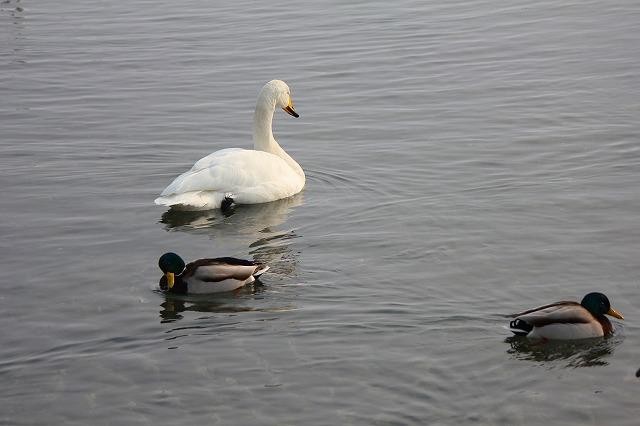 白鳥 (3)