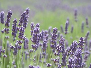 s_lavender01.jpg