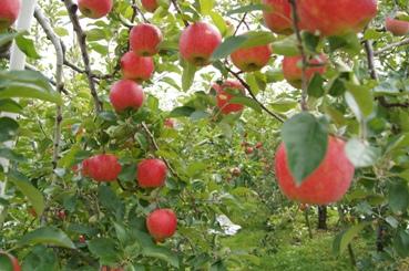 川場村のりんご園