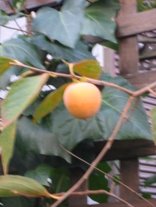 柿の実 005 (308x410)