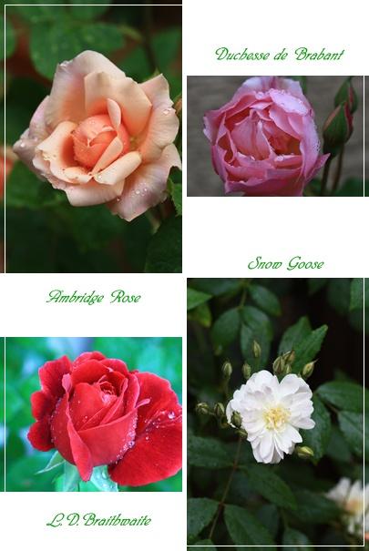 roze4.jpg