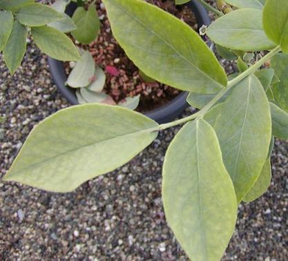 2008-09-ノビリスのクロローシス