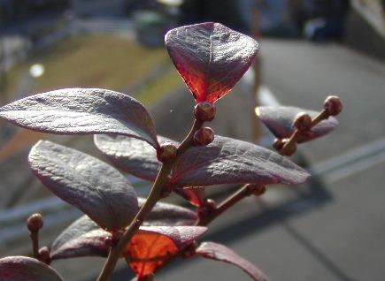 2010-02-07マグノリア(2)