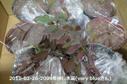 2010-02-26-2009年挿し木苗(very blueさん)