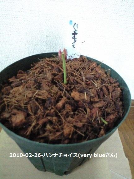 2010-02-26(5)-ハンナチョイス(very blueさん)