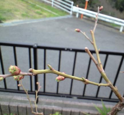 1-2010-02-27-ミノウエレガント剪定後の花