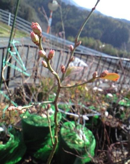 2010-02-21-ミノウエレガント花芽
