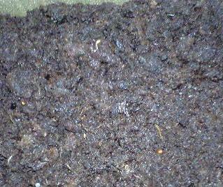 2010-3-19-シャシャンボの種冷蔵